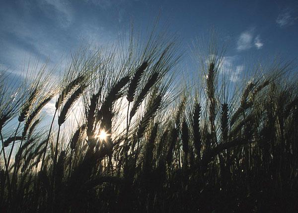 crops_wheat